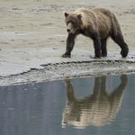 Brown Bear strolling along the beach.