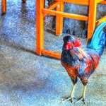 One of the many roosters