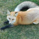 resident fox