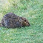 resident beaver