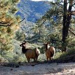 Elk returning to meadow