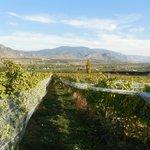 Looking east through the vineyard