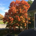 Impressive Maple Tree. View from the Room