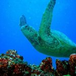 Green Turtle in flight on our dive taken by Divemaster Larry Hogan