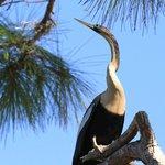Venice Rookery - Anhinga on nearby tree