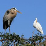Venice Rookery - Great Blue Heron and Great Egret
