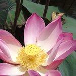 Bali, lotus cafe pond