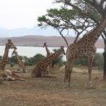Giraffe at Spioenkop Nature Reserve