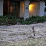 Wild hare visiting Thula Thula cottage