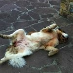 One of the two St. Bernards