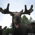 Millest Moose Farm