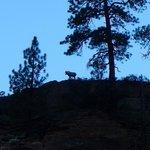 Bighorn Sheep Gazing On Us