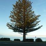 Norfolk Island Pine on the beach