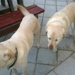 The beautiful golden Labs