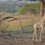 Giraffes on our way into camp