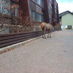Elk in the hotel grounds
