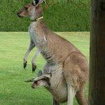 Pet kangaroos!