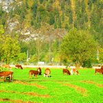 cows along our walk to the restaurant