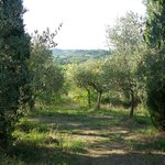 Olive trees, cypresses and a view