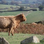 Highland cattle on the moors