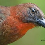 Red-throated Ant-Tanager - male - portrait - Alex Vargas, 2013
