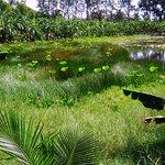 Lotus pond at Nina's.
