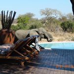 An elephant visiting the pool