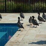 Ducks in the pool area