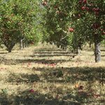 rome orchard