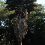Copernicia palm, from Cuba