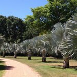 Elegant avenue of Bismarck palms, from Madagascar