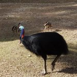 Male cassowary and chicks