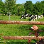 les voisines les vaches