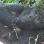 Mubare Mountain Gorilla Family, Uganda