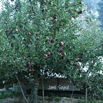 Tent under the apple trees