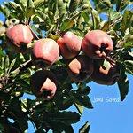 Apples of Mr. Negi