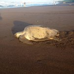 Lagarta lodge is close to Ostional turtle reserve