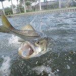 Phlats - Light Tackle Inshore Fishing