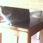 Misha the cat peeking out from under a table.