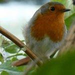 """""""Robin"""" im Garten von Bob und Ann"""