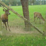 some more of their Red Deer herd