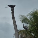 Pelican and Gull? on the Caye