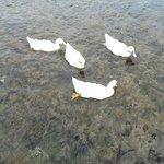 ördeklerle birlikte yüzebilirsiniz