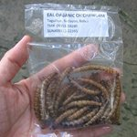 Chichaworm (Edible Worms)