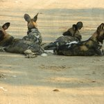 Wild dogs, wow!