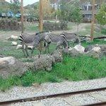 Zebras wander their area