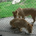 Lions come over for a treat