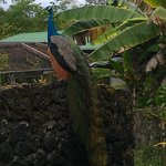 Peacocks love to have their picture taken