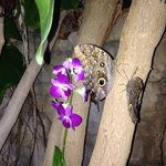 Owl butterfly and orchids in October