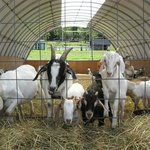 Friendly goats waiting for visitors to feed them :)